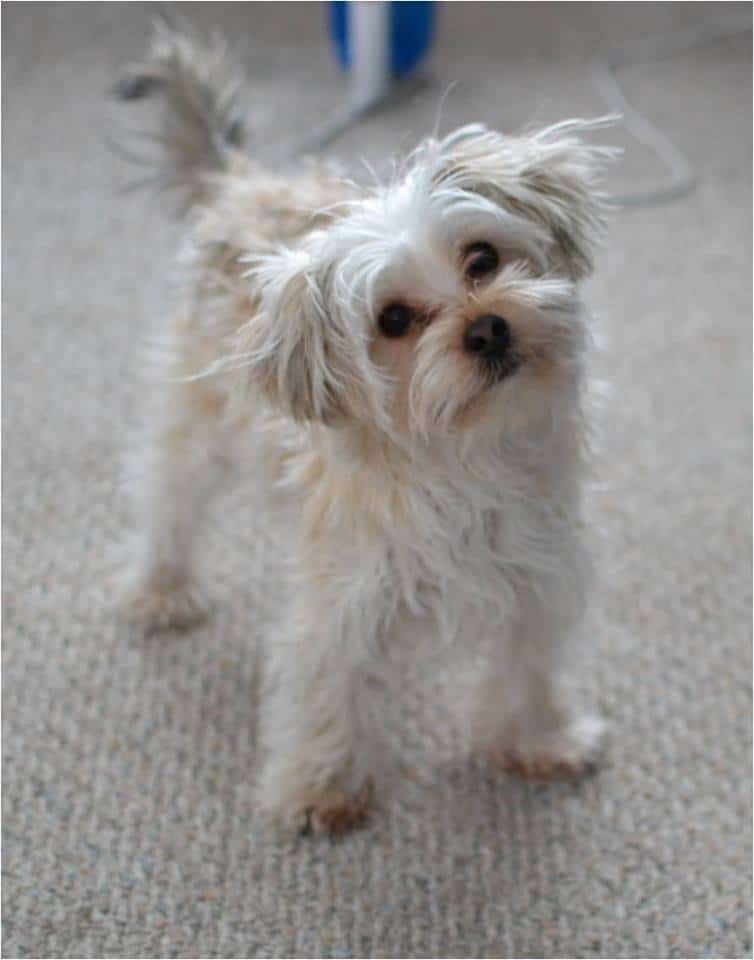 a white morkie standing on the carpet with frizzy hair and his head tilted to the side.