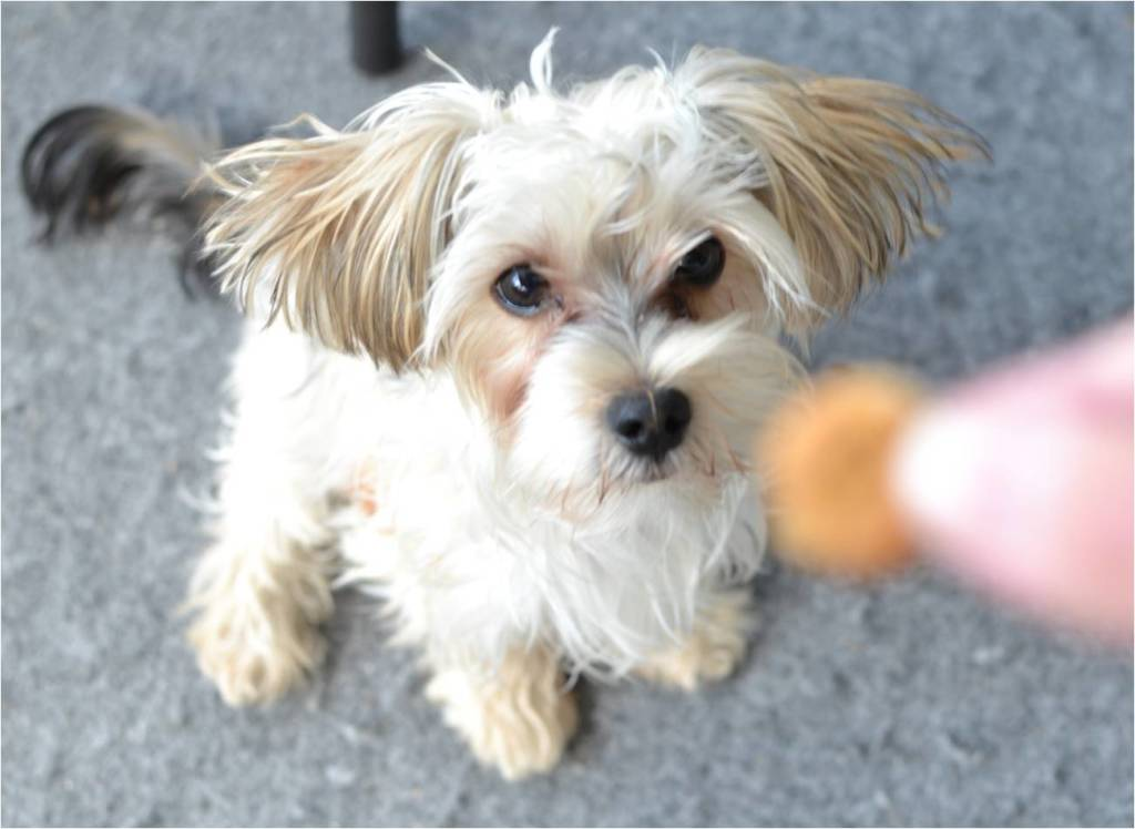 a white morkie sitting and staring at a small treat being held in front of him.