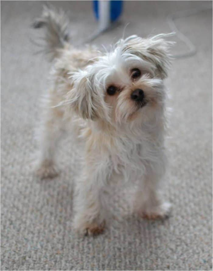 A white morkie with frizzy hair looking at the camera with his head tilted to the side.
